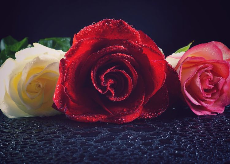 Rosé Rose - Flower Freshness Flower Petal Beauty In Nature Flowering Plant Inflorescence Flower Head Plant Aroma Aromatic Black Background Water Drop Close-up Red Vulnerability  Fragility Still Life Softness Studio Shot White Pink Color Red Love
