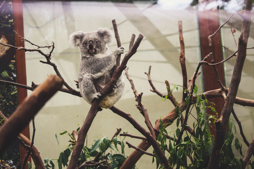 Planckendael Zoo Animal Animal Themes Animals Koala Looking At Camera No People One Animal