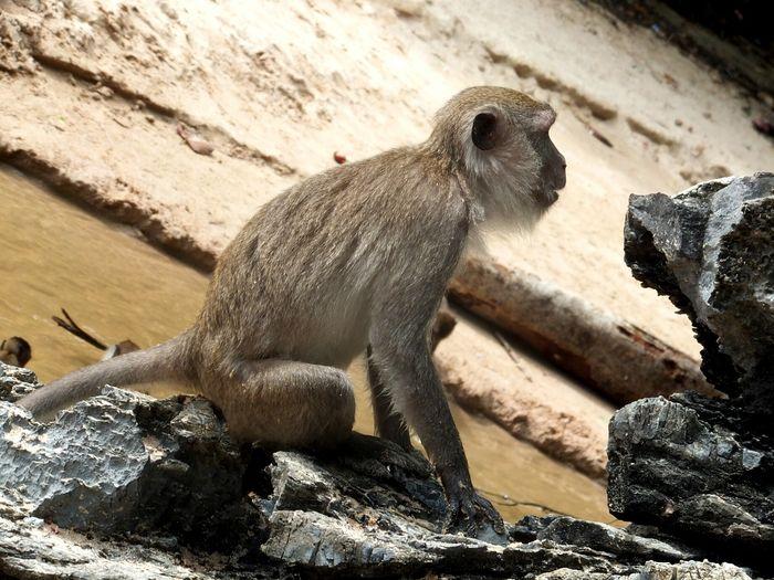 Monkey Mono Krabi, Thailand