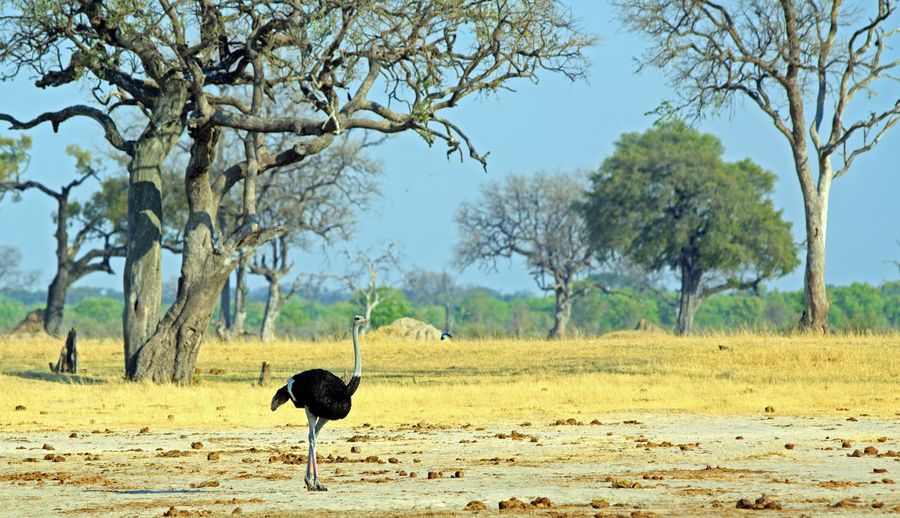 Animals In The Wild Animal Wildlife Safari Wildlife & Nature Hwange National Park Zimbabwe Southern Africa Travel Destinations Vacations Plains Savannah Outdoor Photography Mammal Wilderness Beauty In Nature Ostrich