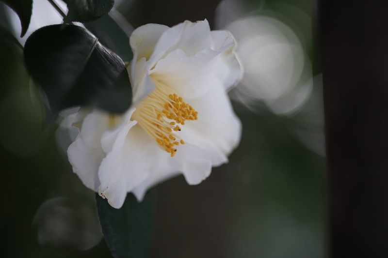 Unspoken Words SONY A7ii Masako201801 Nofilternoedit 105mm Micronikkor Micronikkor105mmf2.8 Outdoors Koishikawa Botanical Gardens Unspoken Words  Silence Meditation Calm Afternoon Calm Day Quiet Time White Flower Camellia White Camellia 大城冠 Camellia Japonica Common Camellia Japanese Camellia Flower Petal Flower Head Fragility Beauty In Nature Freshness Nature