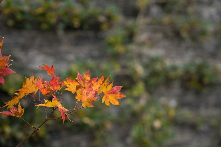 Close-up of orange maple tree during autumn