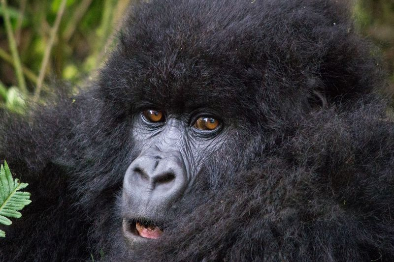 Endangered Species National Park Rwanda Africa Animal Hair Animal Wildlife Animals In The Wild Ape Beringei Black Close-up Forest Gorilla Hairy  Jungle Mammal Monkey No People One Animal Outdoors Portrait Primate Virunga Wild Young Animal Perspectives On Nature An Eye For Travel
