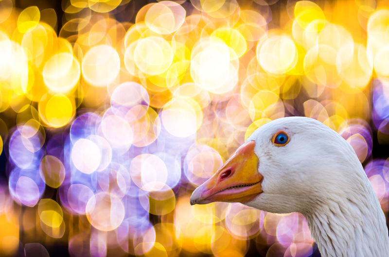 the portrait of a white goose in front of a festive bokeh Christmas Goose Animal Animal Body Part Animal Head  Animal Themes Animal Wildlife Animals In The Wild Bird Bokeh Christmas Roast Close-up Focus On Foreground Goose Illuminated Lens Flare Lighting Equipment Nature Night No People One Animal Outdoors Portrait Recipe White Color Yellow