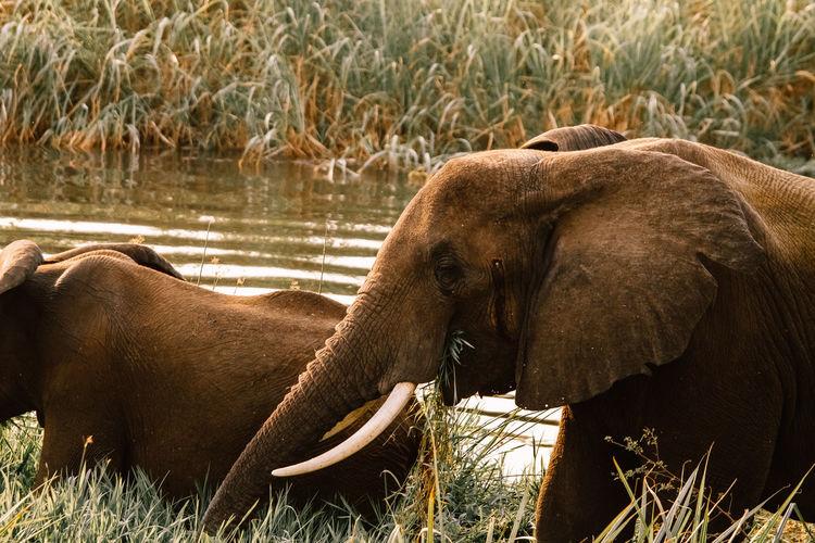 Elephants on field by water