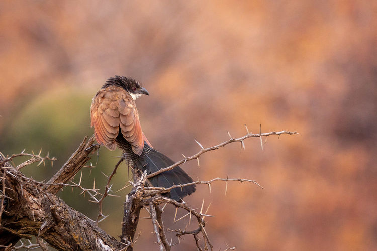 Animal Animal Themes Animal Wildlife Animals In The Wild Beauty In Nature Bird Bird Of Prey Branch Brown Day Focus On Foreground Nature No People One Animal Outdoors Perching Plant Selective Focus Stick - Plant Part Tree Vertebrate