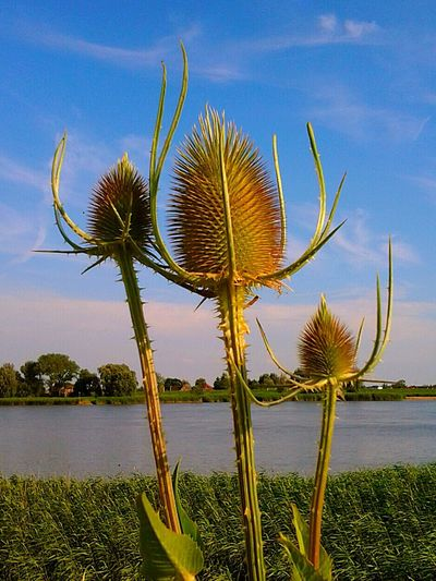 Teasel Kaardebol Open Edit Nature On Your Doorstep
