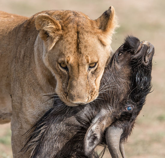 Lioness carrying dead wildebeest