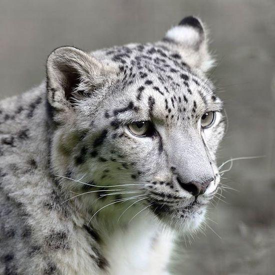 Pet Pets Animal Animals Blackandwhite Félin  Panthers Panthère Nature Nikonfr Nikon