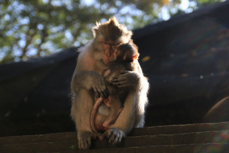 Full length mother monkey with baby sitting outdoors