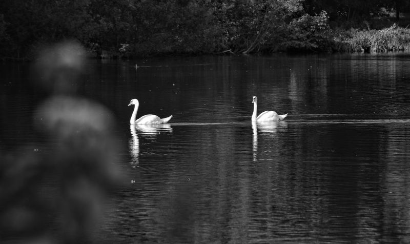Monochromeart Light And Shadow Water Reflection Swans On The Lake Black&white De Witt See
