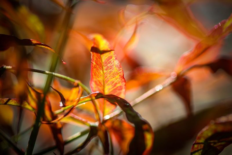 Natural Beauty Plant Part Leaf Plant Close-up Beauty In Nature Nature Orange Color Growth No People Selective Focus Focus On Foreground Change Outdoors Tree Vulnerability  Day Fragility Vibrant Color Red