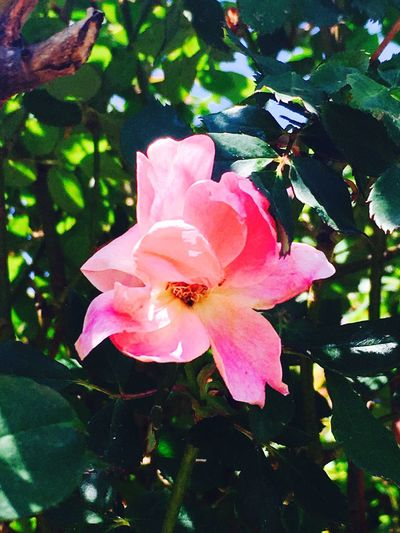 Rose🌹 Rose♥ Firstbloom Oklahoma Flowers Sun IPhoneography Sunlight Oklahoma Nature Oklahomabeauty Naturephotography Nature Photography Pinkrose Pink Flower