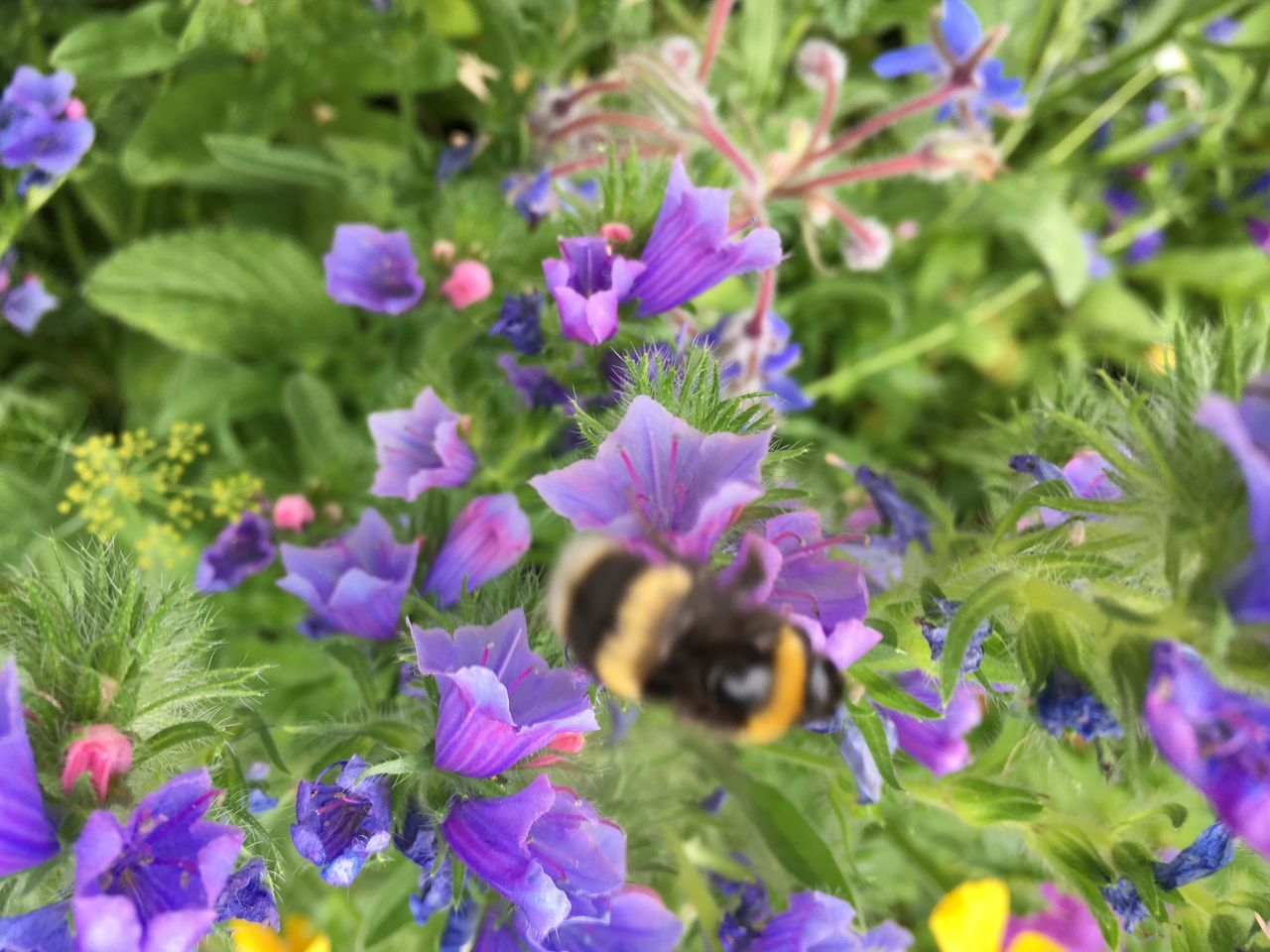 flower, insect, growth, fragility, nature, plant, freshness, beauty in nature, one animal, animal themes, petal, purple, bee, animals in the wild, outdoors, no people, bumblebee, pollination, day, blooming, flower head, buzzing, close-up