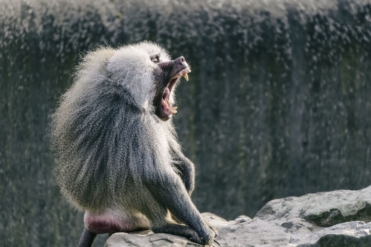 Male Baboon at the zoo Berlin Germany 🇩🇪 Deutschland Horizontal Mamal Zoo Animal Animal Themes Baboon Color Image In Captivity Male Mammal Monkey Mouth Nature No People One Animal Outdoors Primate Rocks Sitting Vertebrate Yawning Zoological Garden Zoology