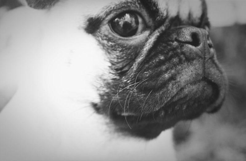 I choose the pug life. I ♥ Pugs