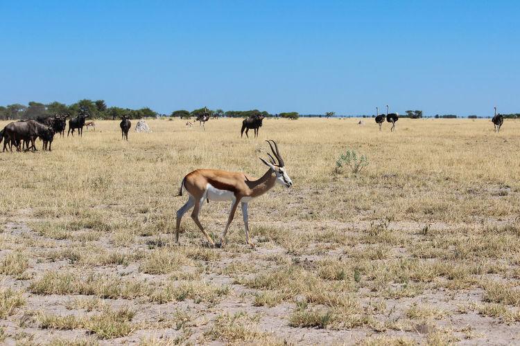 Antelopes on landscape against clear sky