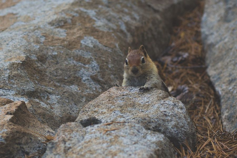 A cute and curious little chipmunk was playing hide and seek with my camera until it got really close to me. Chimpmunk Animal Themes Animal Animal Wildlife One Animal Rodent Rock Animals In The Wild Mammal No People Outdoors Nature