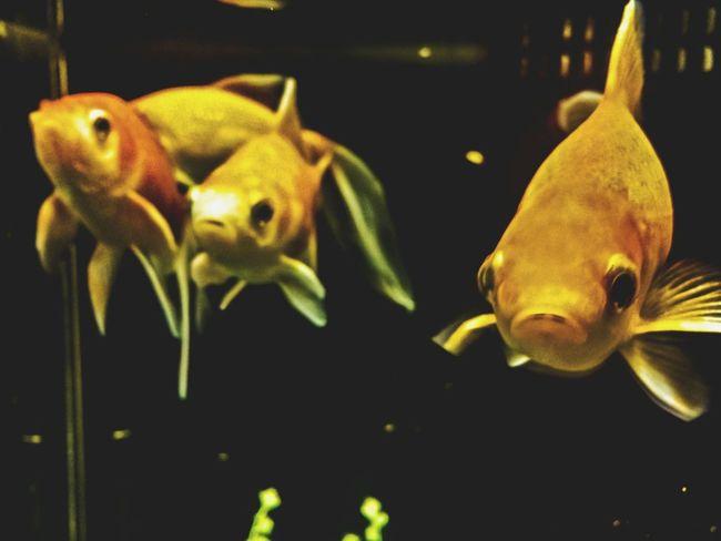 Aquarium Fish Goldfish GoldFish! Stare Staring At Me