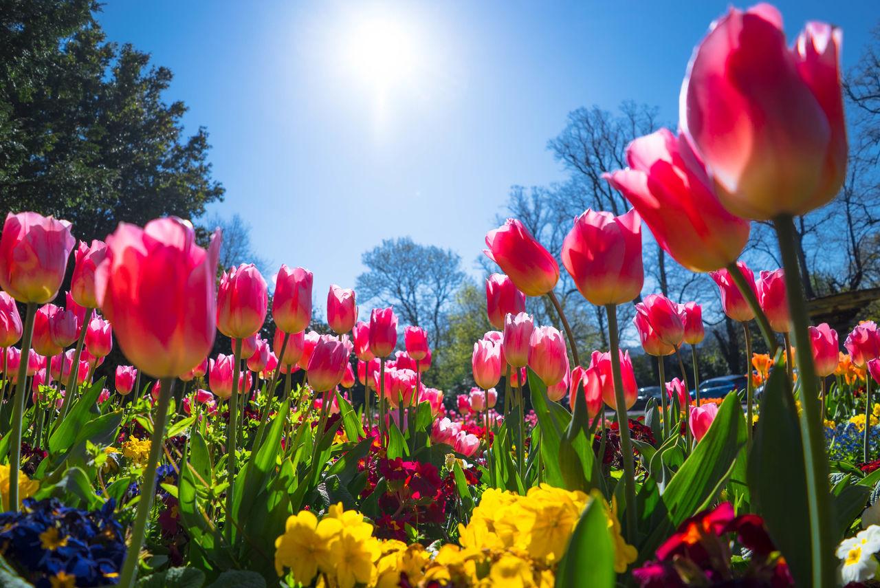 Tulips Blooming Against Sky