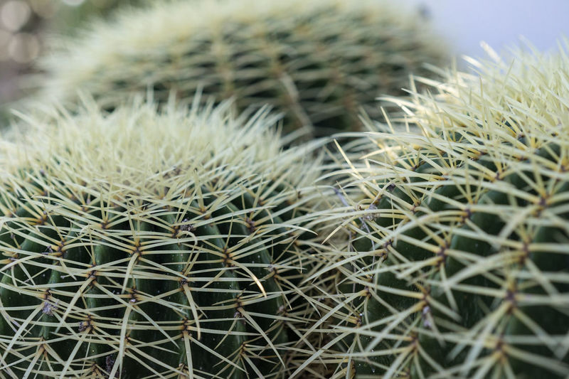 Cactus Thorn Growth Nature Plant Spiked Close-up Uncultivated Beauty In Nature No People Outdoors Day Backgrounds Freshness Echinocactus Grusonii Cactus Echinocactus Grusonii Macro