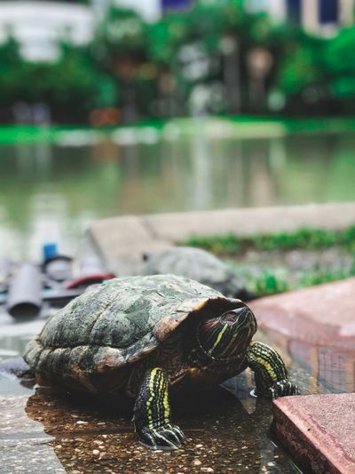 Reptile One Animal Animals In The Wild Animal Themes Animal Animal Wildlife Turtle Focus On Foreground Nature Green Color Day Zoology Tortoise Water Close-up Outdoors Vertebrate No People Amphibian Marine