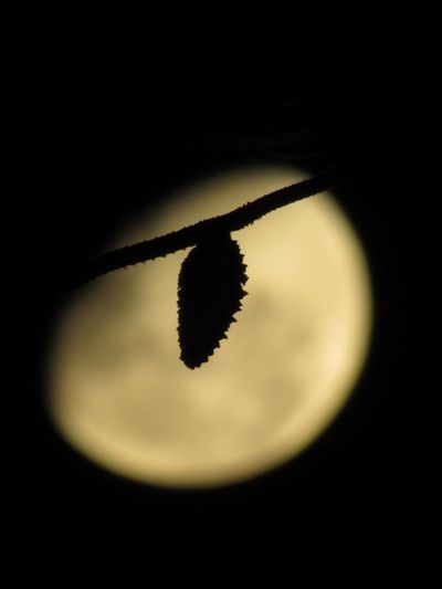 Moon behind the Pineda tree Moon Behind Pine Tree Moon Pine Tree No People Copy Space Close-up Black Background Circle Still Life Shape Silhouette Nature Focus On Foreground Black Color Single Object Dark High Angle View Yellow Go Higher