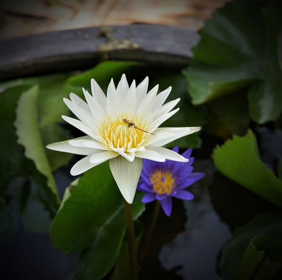Flower Head Flower Petal Leaf Close-up Plant Water Lily Lotus Floating Lotus Water Lily In Bloom Bee Floating On Water