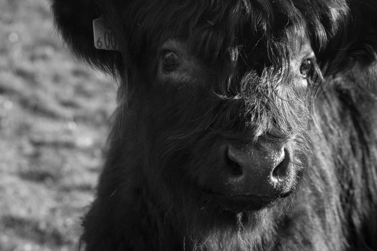 Close-up portrait of calf