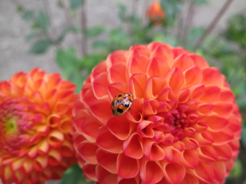 Flowers Ladybug Holiday Check This Out Coccinelle🐞 Coccinella Flower Dahlia Dahlia Flowers Oudenaarde Garden Park