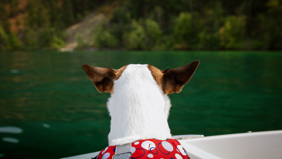 Dog with large ears looking out at green lake from boat