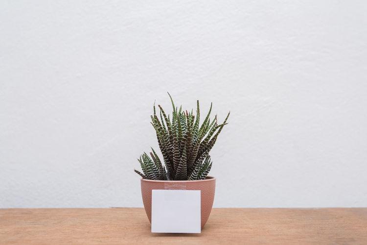 Blank Cactus