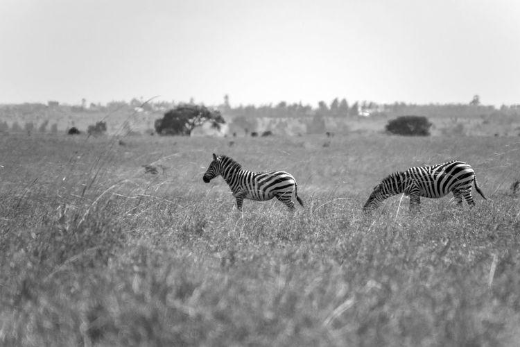 Group Of Animals Animal Animals In The Wild Animal Themes Animal Wildlife Striped Zebra Mammal Sky Plant Nature Field Land Grass No People Safari Landscape Day Wildlife Nairobi Black And White Black & White Nature Photography Nature
