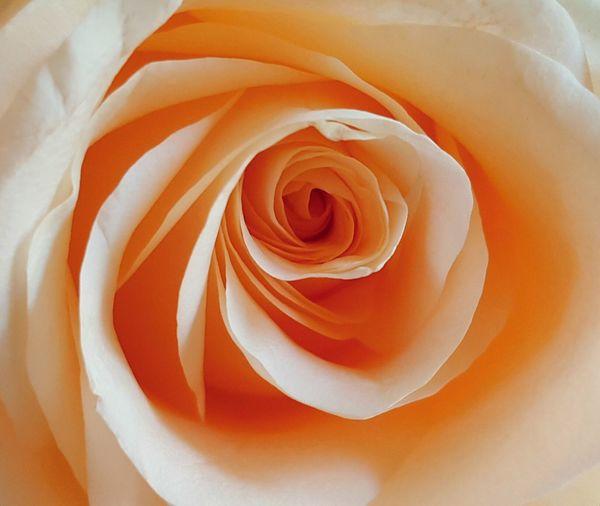 Full Frame Shot Of Peach Rose