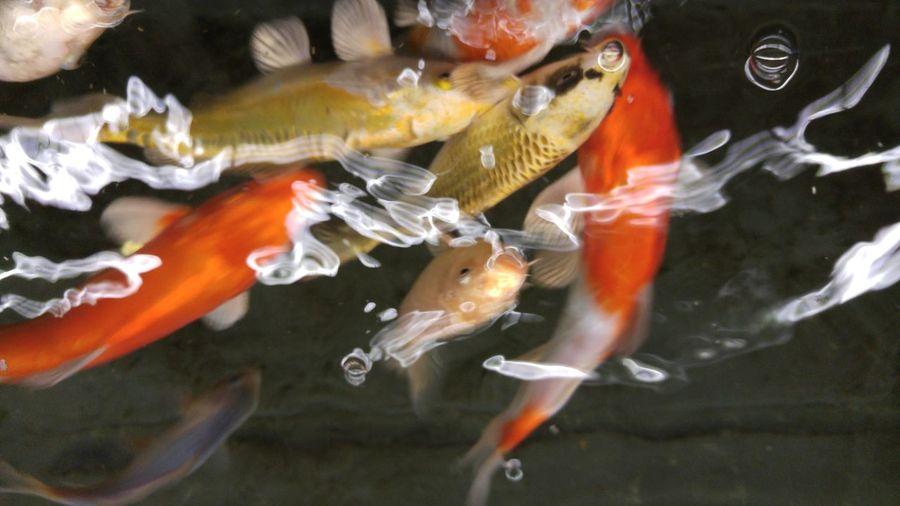 Showcase: February Fish Fishing Fishes Red Fish Japanese Fish