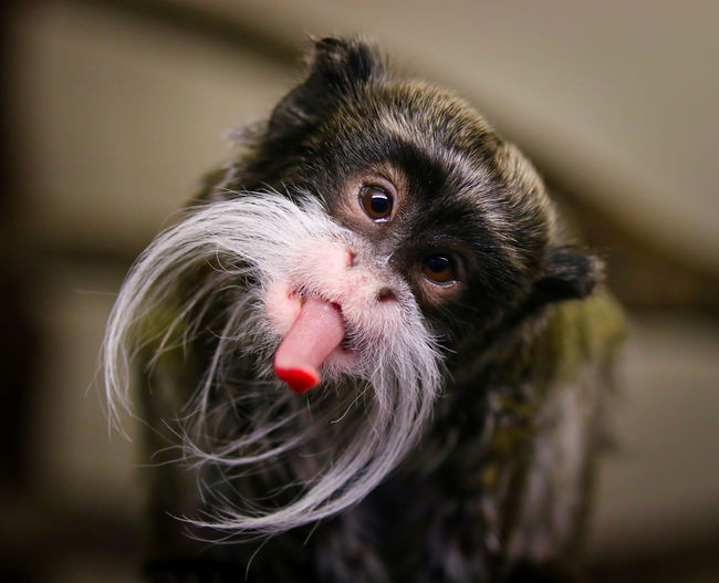 An Emperor Tamarin Monkey being very cheeky to the camera Animal Themes One Animal Animal Mammal Close-up Vertebrate Focus On Foreground Portrait No People Selective Focus Animal Wildlife Looking At Camera Animals In The Wild Domestic Animal Body Part Pets Indoors  Domestic Animals Food Rodent Animal Head  Whisker Animal Eye