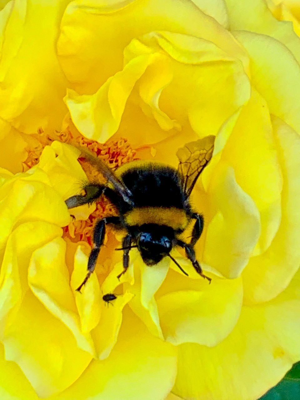 CLOSE-UP OF BEE POLLINATING ON YELLOW ROSE