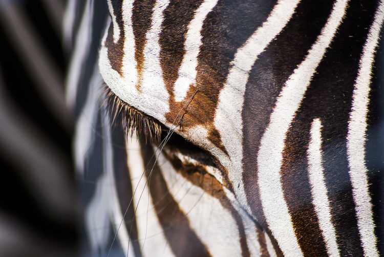 Close-up of zebra on sunny day