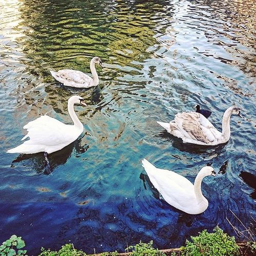 Four Swans on the River Lea, Ware.. Swans Ware RiverLea Hertfordshire Birds Animals Nature Wildlife Water Picoftheday ICAN Four Capture Snapshot Sony Sonyxperia XperiaZ3