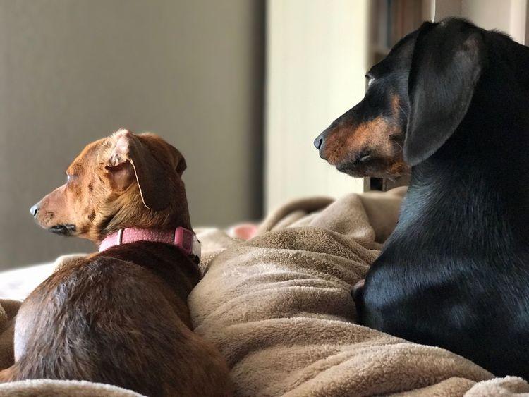 Weeniedog Pets Dog Dachshund Doxie