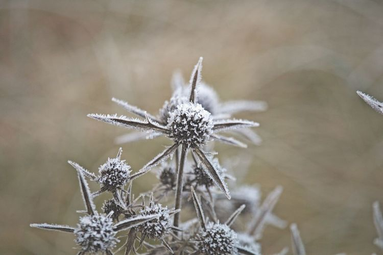 Field Fieldscape Frost Frozen Ice Crystal Nature On Your Doorstep Nature Photography Winter Wintertime Beauty In Nature Bokeh Close-up Cold Cold Days Cold Temperature Cold Winter ❄⛄ Focus On Foreground Fragility Frosty Frozen Nature Nature Nature_collection Naturelovers Selective Focus Thistle