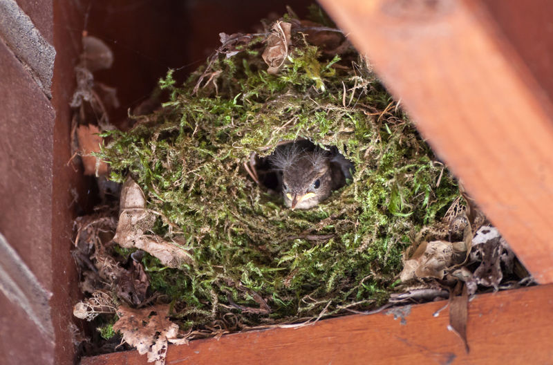 Animal Themes Animal Wildlife Animals In The Wild Bird Chick Close-up Comfortable Cozy Cozy Place Curious Cute Animals Eurasian Wren Fledgling Fully-fledged High Angle View High Up Moss Nature Nest Nesting Birds Safe Safety Spherical Nest Troglodytes Troglodytes Wren