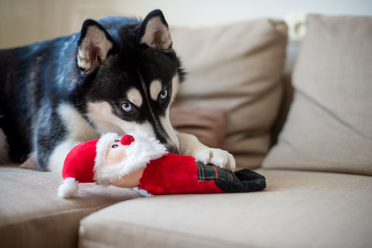 Close-Up Portrait Of Dog Lying On Sofa And Playing With Red Toy Animal Animal Body Part Animal Eyes Animal Head  Animal Themes Canine Close-up Color Image Domestic Animals Dog Horizontal Indoors  Looking At Camera Lying Down Mammal No People One Animal Pets Photography Portrait Relaxation Selective Focus Siberian Husky Blue Eyes Sofa