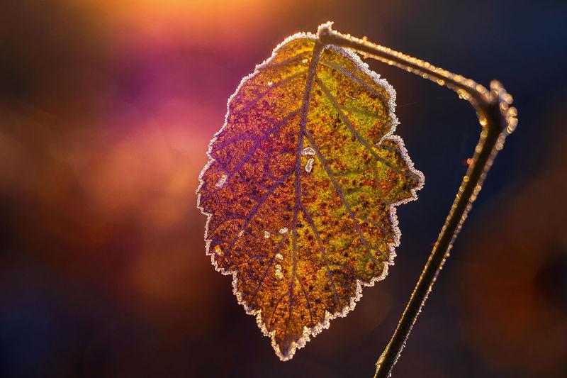 Herbstblatt Makro Mehrfarbig Old Raureif  Sonnenaufgang Sunrise Winter