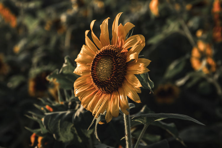 Close-up of wilted sunflower blooming in park