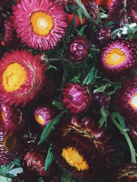 Farmers Market Beauty In Nature Celebration Choice Close-up Day Floral Flower Flower Head Fragility Freshness Full Frame Garden Growth Indoors  Magenta Multi Colored Nature No People Strawflower Yellow