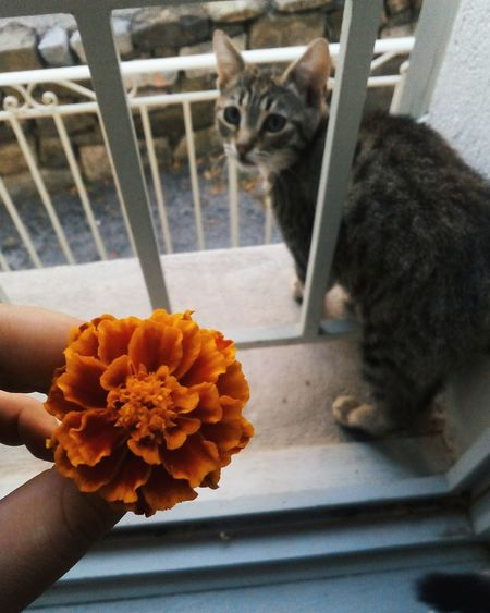 Cat Afternoon Nice / Nizza Flower Pets Domestic Cat Indoors  Nature Oeillet Fleur Chat Baby Kitten France🇫🇷