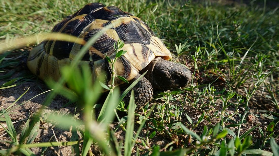 Manci :) Pets Corner Turtle Greek Grass Relaxing Taking Photos Hi! That's Me Check This Out Enjoying Life Kedvencek Hungary Photos Budapest - Hungary Italy Holidays Balatonsound Sziget2016 Sziget Festival Voltfesztival Walpapers Hd Nature Architecture Hanging Out Budapest, Hungary Close-up Day Perfect