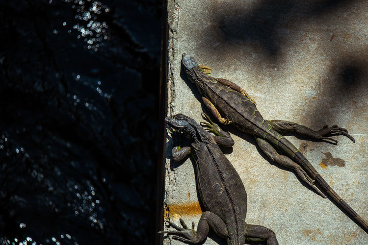Sunbathers Photographyisthemuse Animal No People Close-up Animal Themes Animals In The Wild Lizard Day Animal Wildlife Outdoors Iguana Textured  Nature Sunlight