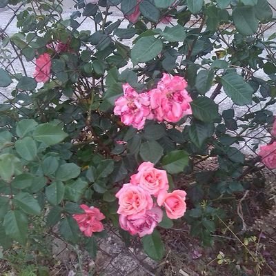 Nature Roses Pink Pinkroses flowers ig_nature ig_flowers ig_roses ig_sicilia ig_sicilians typicalsicily lovingsicily lovingsicilyoftheweek may spring photo photooftheday followforfollow followme followme tagsforlikes instaroses instaflower instanature instarelax picoftheday